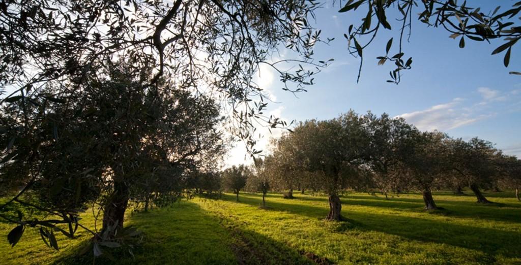 http://www.agricolagenco.it/web/wp-content/uploads/2013/10/bg_nocellara021-1024x522.jpg